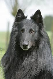 belgian shepherd dog perfect conformation belgians pinterest belgian shepherd