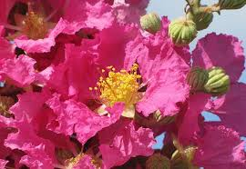 striking new crape myrtle for florida s gardens and landscapes
