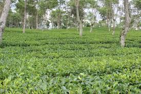 Teh Rolas Wonosari menyapa pucuk teh pertama di kebun teh wonosari jala kata jalin