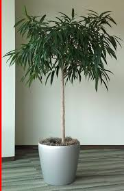 Easy Apartment Plants Weeping Fig Tree Weeping Fig Is One Of The Best Plants For