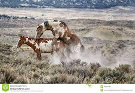 mustangs mating sand wash basin procreation stock photo image 49524086