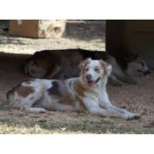 diamond s australian shepherds double diamond aussies australian shepherd dog breeder in lecanto