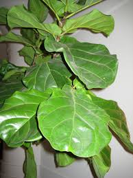 how to take care of fiddle leaf fig hgtv