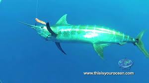 massive mako shark surprises diver and blue marlin youtube
