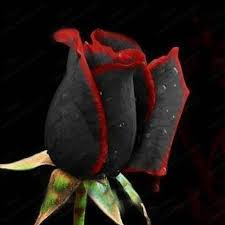 black roses true blood black seeds amazingly beautiful black