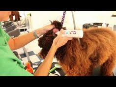 doodle doo labradoodles australian labradoodle grooming guide for the dogs