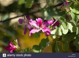 K He Pink Bauhinia Purpurea Stock Photos U0026 Bauhinia Purpurea Stock Images