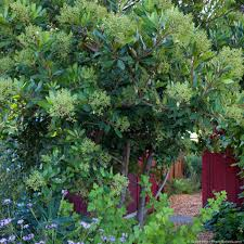 california native plant garden toyon heteromeles california native evergreen shrub with