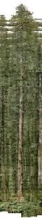 Define Tree The World U0027s Tallest Tree Is Hiding Somewhere In California
