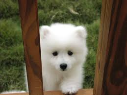 american eskimo dog for sale in colorado konalae japanese spitz