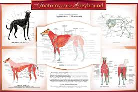 Dog Anatomy Poster Muscle Archives Page 20 Of 36 Human Anatomy Chart