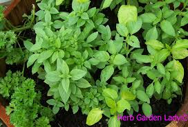 an indoor garden is easy with a few herbs any time of year