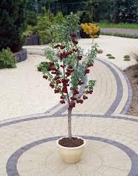 winter sale patio fruit tree compact black cherry u0027regina u0027 tree