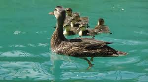 help ducks out of your pool youtube