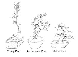 bssf bonsai society of san francisco care of japanese black pine