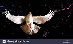 white dove with open wings flies on a black background and colored