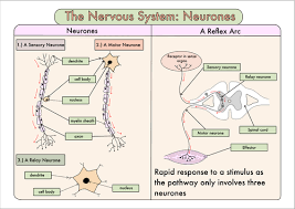 Relex Arc Colour Poster On The Nervous System Neurones And The Reflex Arc