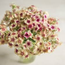 phlox flower cherry caramel phlox seed johnny s selected seeds