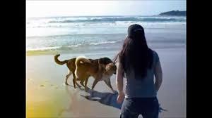 australian shepherd husky australian shepherd akita and husky wolf mix playing on the beach