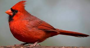 red colouring feathers beaks birds