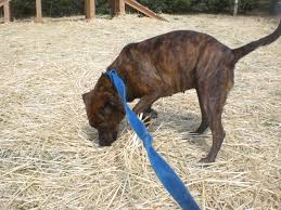 10 boxer dog facts mountain cur dog breed info facts temperament puppies pictures