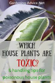 common house plants toxic to cats 10 household plants that are