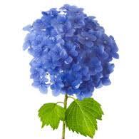 hydrangeas flowers meaning of hydrangeas what do hydrangea flowers