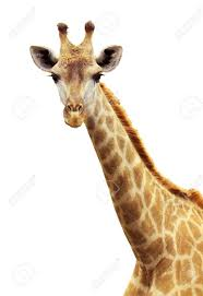 giraffe face in zoo isolated background stock photo picture and