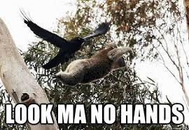 Angry Koala Meme - top caption look ma no hands koala meme quickmeme