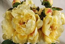 yellow peonies peony bouquet yellow