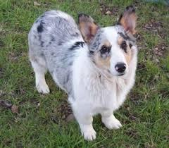 australian shepherd socal welsh corgi husky mix google search dogs u0026 cats u0026 friends