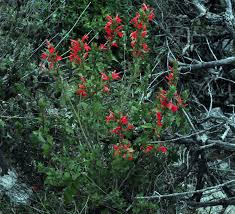 native sonoran desert plants justicia candicans red justicia hummingbird bush chihuahuan