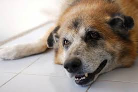dog euthanasia dog euthanasia timing burial and other alternatives