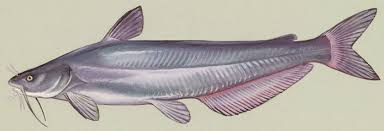 Ictalurids