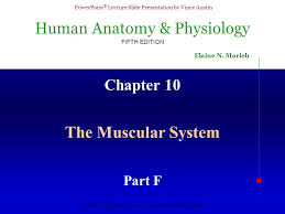 Anatomy And Physiology The Muscular System Chapter 10 The Muscular System Part F Ppt Video Online Download