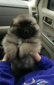 american eskimo dog short hair pictures of dogs that look like teddy bears u2013 ferocesmente