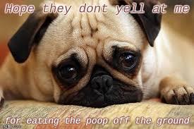 Sad Pug Meme - sad pug memes imgflip
