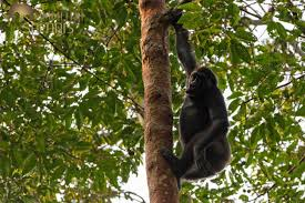 congo kalahari from primates to pangolins u2013 mammoth safaris