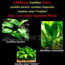 aliexpress buy fish tank live aquarium plants seeds anubias
