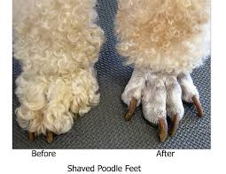 standard poodle hair styles poodle haircut styles feet funny standard haircuts shaved teacup