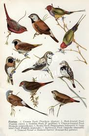 vintage australian birds print finches vintage bird illustration