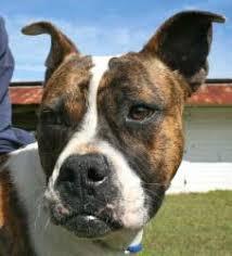 1 year old boxer dog adopt mason on boxer bulldog female boxers and dog