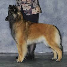 belgian sheepdog oregon puppy information