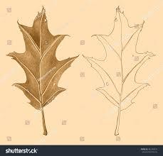 Oak Tree Drawing Red Oak Tree Leaf Fallen Leaves Stock Illustration 452183074