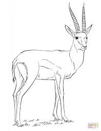 thomson u0027s gazelle coloring page free printable coloring pages
