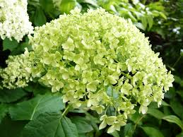 how to grow hydrangeas ashwood nurseries