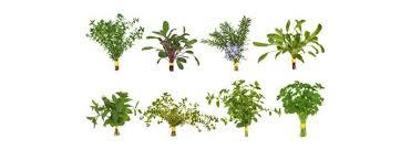 les herbes de cuisine cuisine aromatique accueil cuisine aromatique