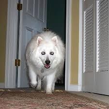 american eskimo dog growth chart cute dog pictures our american eskimo dog growing up the dog guide