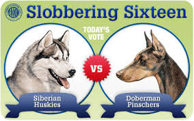 belgian shepherd vs doberman the slobbering 16 siberian huskies vs doberman pinschers akc
