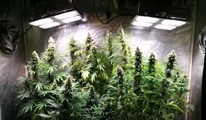 growing autoflower with led lights how to yield more from the same grow lights blog about cannabis seeds